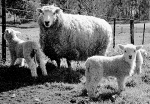 Perendale sheep