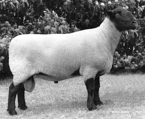 2012 Feature Breed: Suffolk | Woolcraft at the Australian